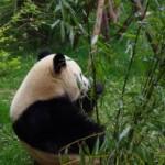 これが噂の成都、パンダ繁育研究基地